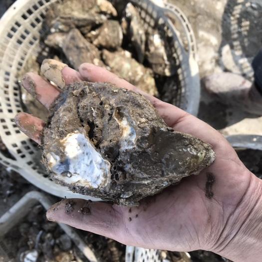 潮州饶平县 湛江生蚝 阳江生蚝 汫洲大蚝 牡蛎