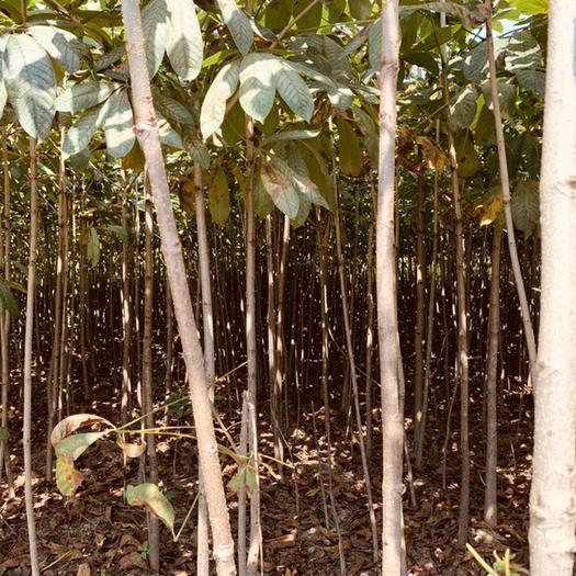 恩施土鶴峰縣 優質七葉樹苗,基地直銷,超低價格,成活率高,大量現貨