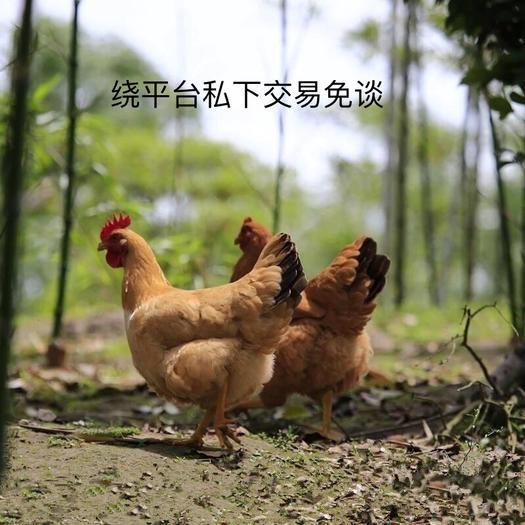 佛山南海区 土鸡.散养农家鸡.杀好发货.私下交易免谈