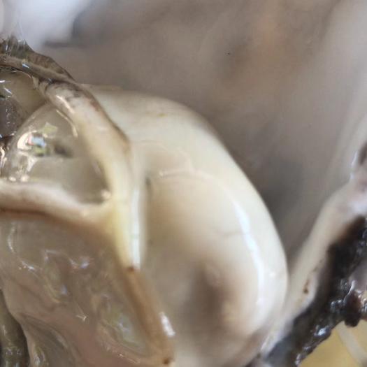 威海乳山市 乳山牡蛎,乳山生蚝 育肥品种上市