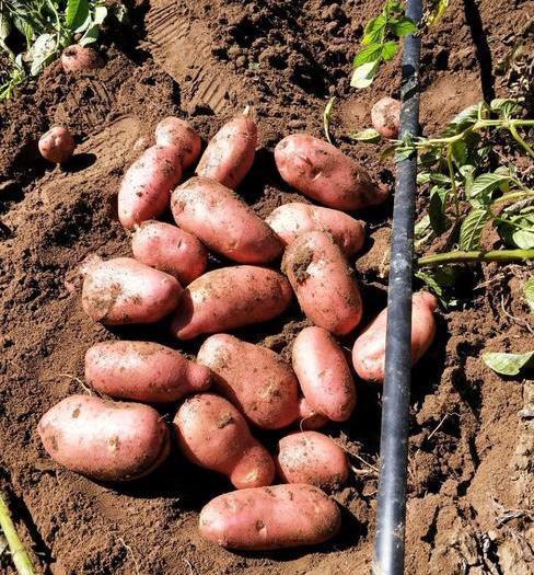 内蒙古自治区乌兰察布市四子王旗红土豆 3两以上