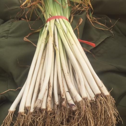 山东省泰安市岱岳区青蒜蒜苗 40 - 45cm