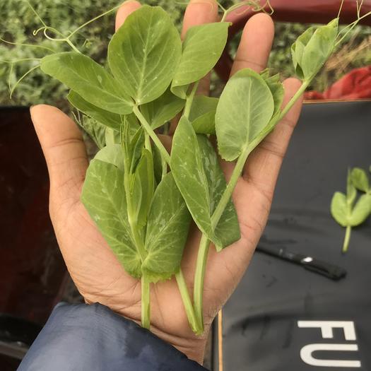 广汉市豌豆苗 四川豌豆尖大量上市了,品质保证,价格随行就市,可打包,调车