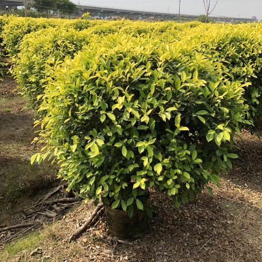揭阳普宁市金叶榕 黄金榕球1米-1.2米-1.5米大冠幅袋苗 现货供应苗圃直发