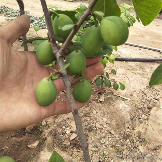 广元苍溪县 (基地直供)挂果快,品种纯正,根系发达的法兰西西梅苗