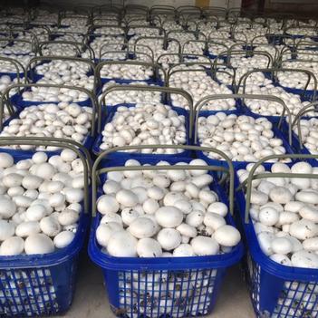聊城南环自有双孢菇口蘑基地一直有货欢迎骚扰