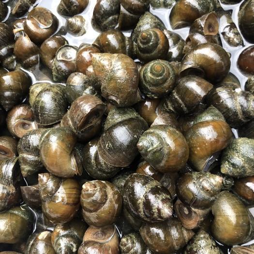 宾阳县 优质厚壳田螺,365天不断货,欢迎咨询,恢复发货