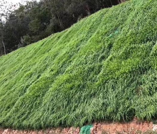 宿迁沭阳县护坡草种子 护坡草籽价格
