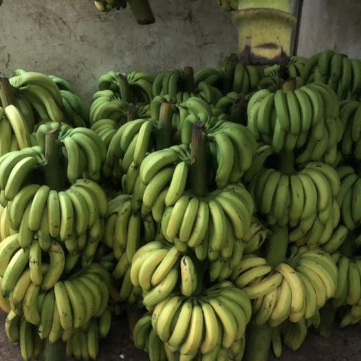 连州市广东香蕉1号 七成熟