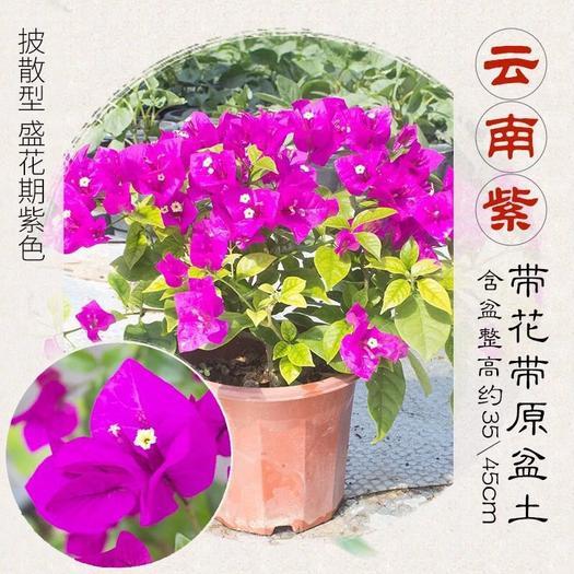 漳州龙海市云南紫三角梅苗 三角梅,小盆栽,