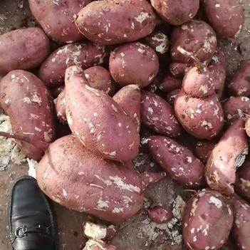商薯19号 商薯19