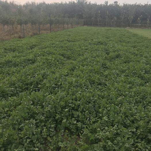 河南省许昌市长葛市 没打过药的无公害香菜。
