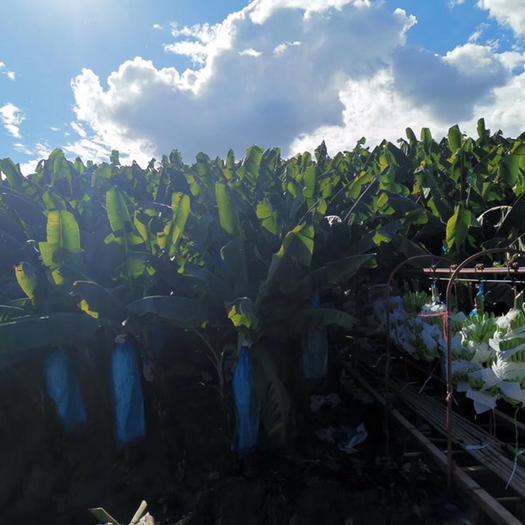 太原晋源区老挝香蕉 果园自产,基地直供,实地看货