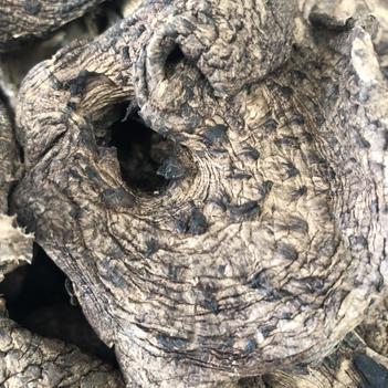 虎掌菌 黑虎掌产地批发 能耳菇 枣翘麟肉齿菌 韩国出口 大货直供