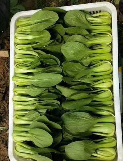菏泽曹县 大量供应精品油菜,快菜,诚信第一,质量保证。