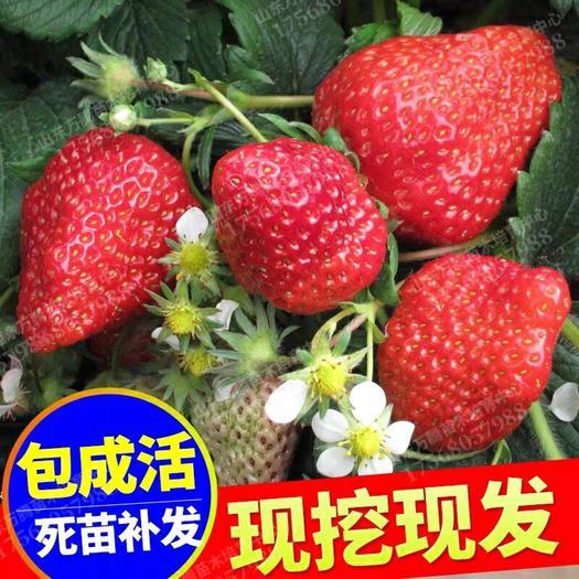 平邑县 四季草莓苗100mm-200mm 万亩种植基地现挖现发