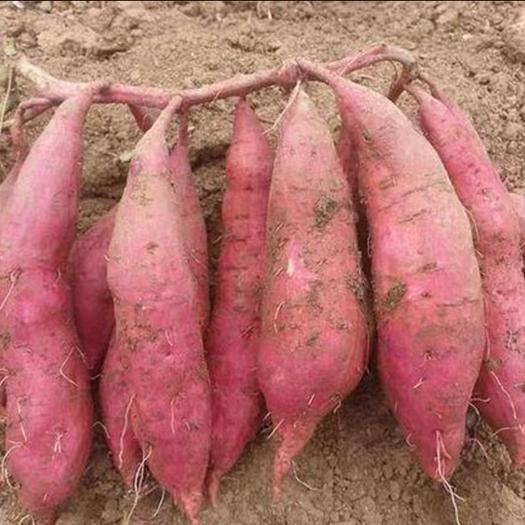 山西省临汾市翼城县白心红薯 3两~6两 红皮