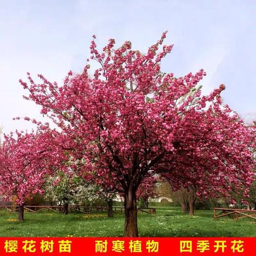 平邑縣 櫻花樹苗 樹型優美 早櫻晚櫻 品種齊全 基地大量現貨