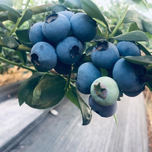 昆明西山區 云南脆甜藍莓 綠寶石 現摘現發 8盒×125g順豐包郵