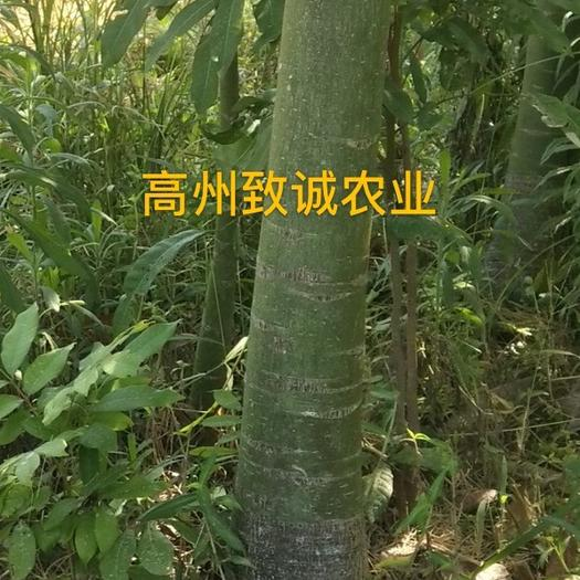 湛江遂溪縣 發財靚樹