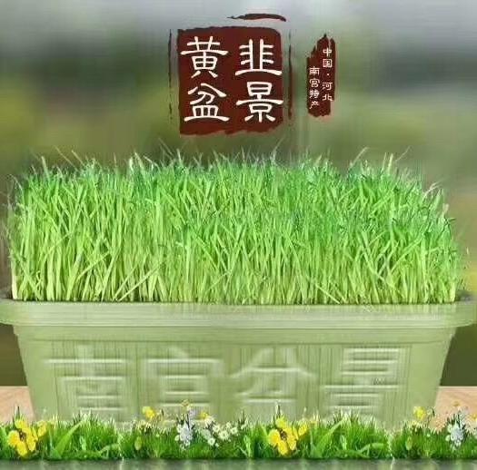 邢台南宫市韭黄盆景 黄韭盆景