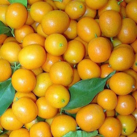 桂林平乐县 【特价抢购包邮】现摘黄皮小金桔小橘子水果新鲜小金桔 批发