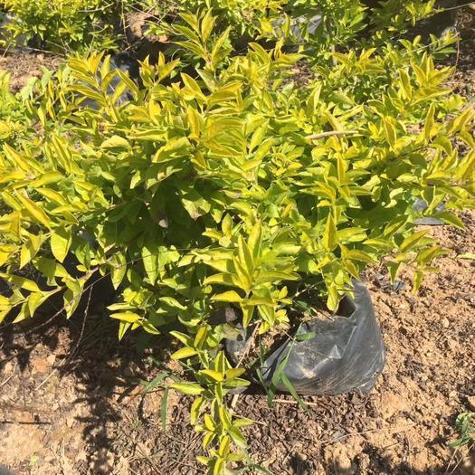 揭阳普宁市金叶假连翘 黄金叶袋苗根系发达 多分枝 工程专用绿化地被自家苗圃大量现货