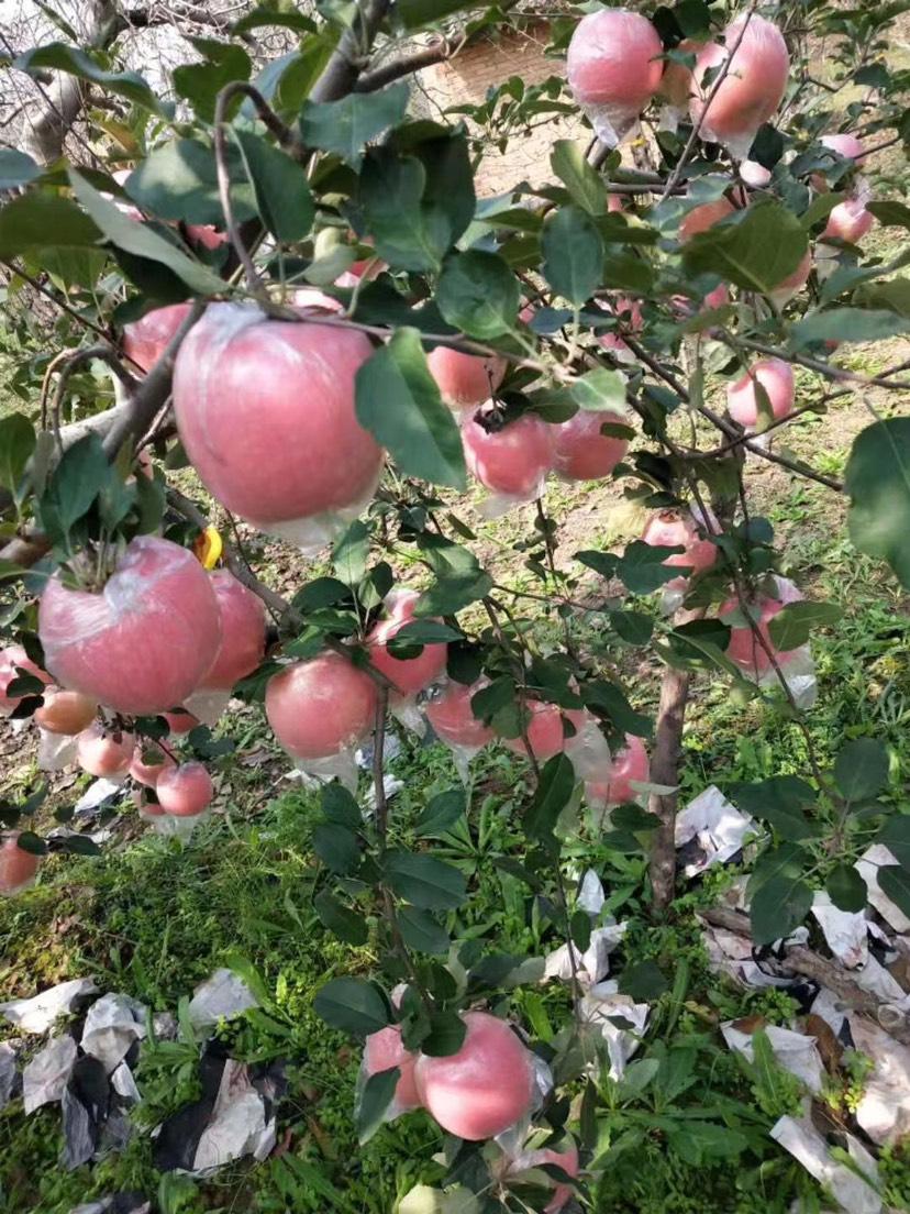 山西運城紅富士冰糖心蘋果