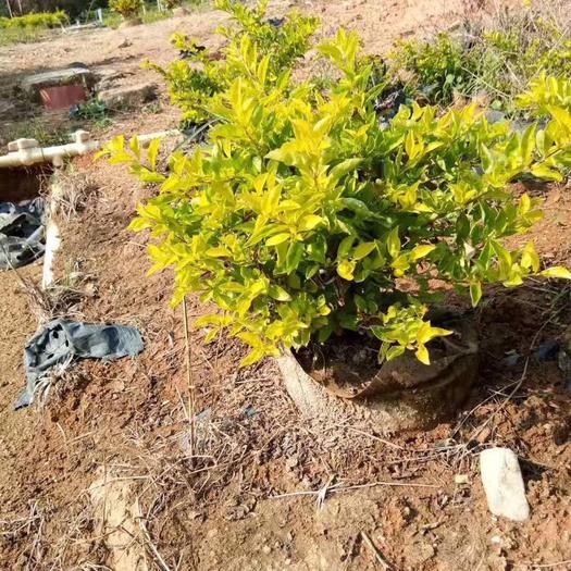 揭阳普宁市金叶假连翘 黄金叶10斤布袋苗40×40规格 彩色苗木