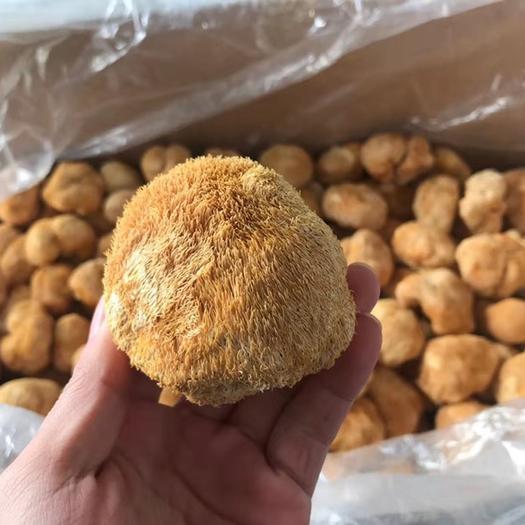 福建省宁德市蕉城区 新货新货长毛5-8左右猴头菇金黄色干猴头菇干货漂亮