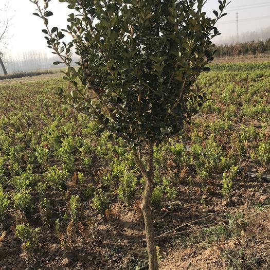 宿遷沭陽縣 獨干黃楊樹1-4公分基地直銷
