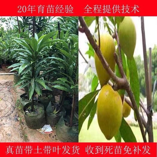 钦州灵山县树蛋果苗 蛋黄果树苗南北果树盆栽地栽鸡蛋果苗四季可种当年结果