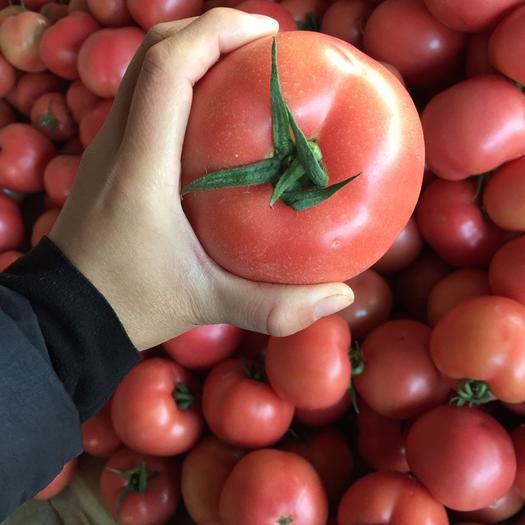 山东省聊城市东昌府区硬粉番茄 通货 弧三以上 硬粉
