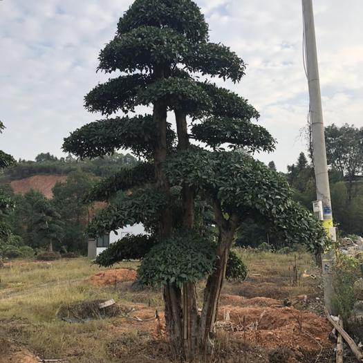 長沙欏木石楠