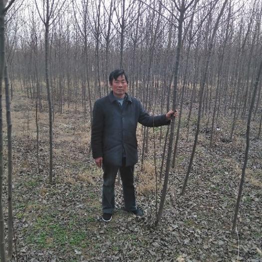 南阳宛城区紫叶稠李苗