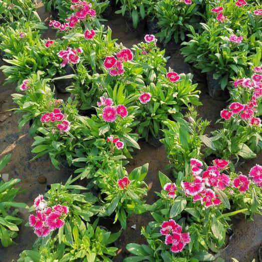 普寧市 石竹 高20公分袋苗 多年生草本植物 耐寒耐干旱