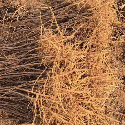 泰安岱岳区 文冠果树苗小苗的价格 文冠果树苗几年结果 文冠果大树苗