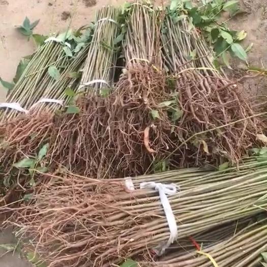 泰安岱岳区红油香椿苗 ,基地直供,提供种植技术,下单24小时内保湿发货,包邮