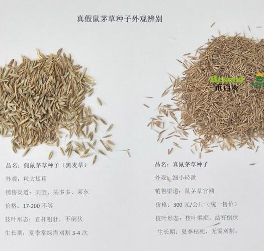 北京大兴 绿肥鼠茅草|鼠茅草种子|以草治草|果园好帮手