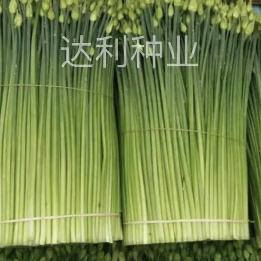 彭州市韭菜種子 韭菜苔種子 葉色濃綠 耐寒 抗病 產量高 口感鮮嫩
