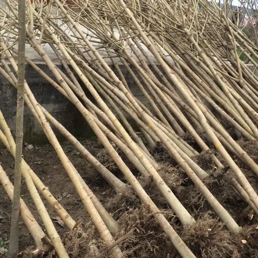 漢中城固縣 低價出售七葉樹
