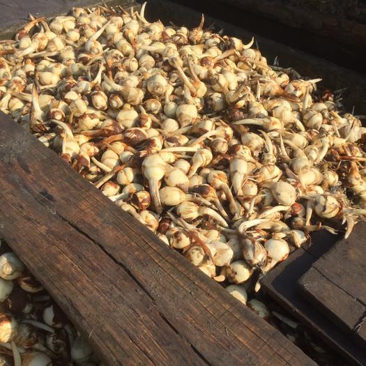 鹽城鹽都區 白肉慈菇   貨量充足 全國批發