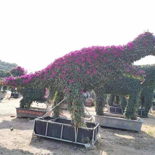 揭陽普寧市造型三角梅盆景 三角梅動物造型盆景 大型景觀設計造型盆栽可實地看貨