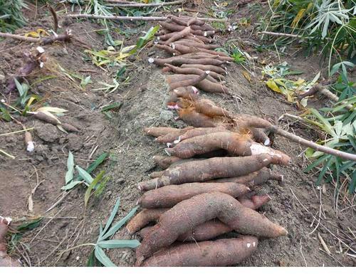 廣州南沙區 大量供應非洲木薯干 含淀粉77%