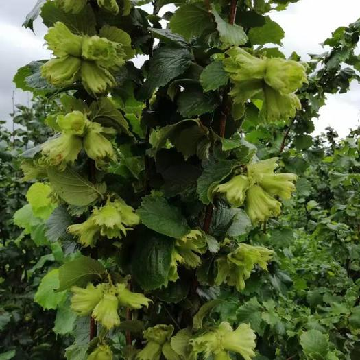 本溪滿族自治縣 我處有各種規格榛子樹