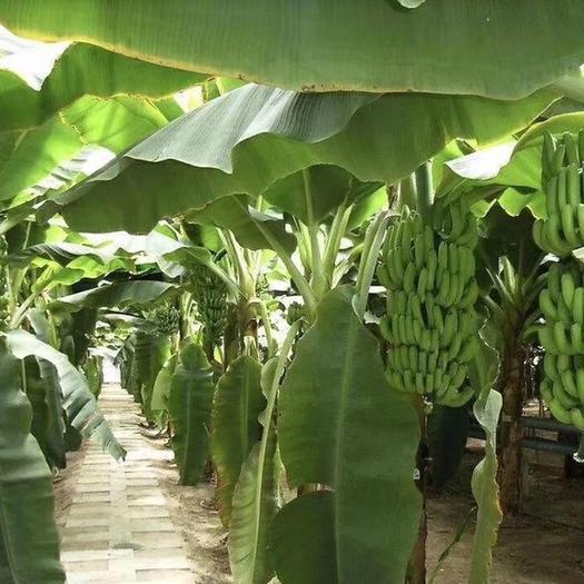 广州 广州香蕉