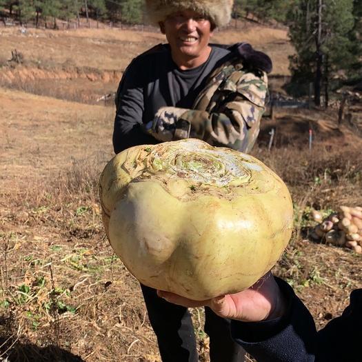 玉龍納西族自治縣甜菜根 2-4斤