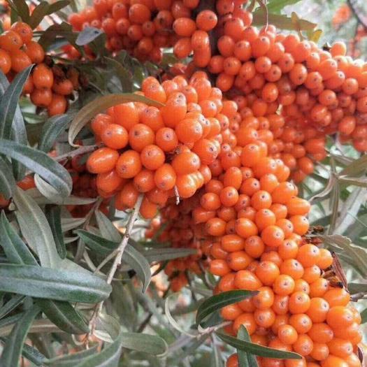 围场满族蒙古族自治县沙棘果 橙黄色