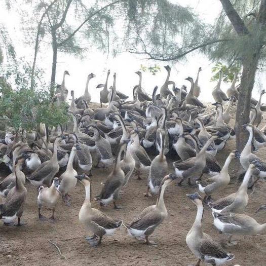 南寧西鄉塘區 廣西南寧孵化場批發馬崗鵝苗