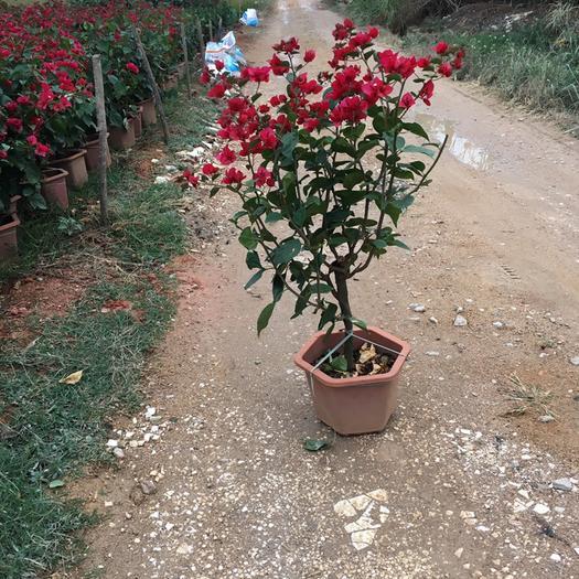 揭阳普宁市水红三角梅苗 水红三角梅1米高带花原土原盆发货 现货供应